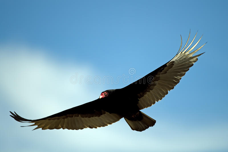 Download Turkey Vulture In Flight stock photo. Image of nature - 23049342