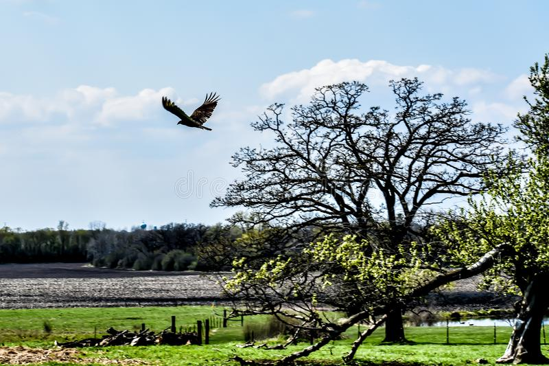 Turkey Vulture Flying in the Air royalty free stock photo