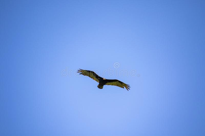 A turkey vulture flying stock photography