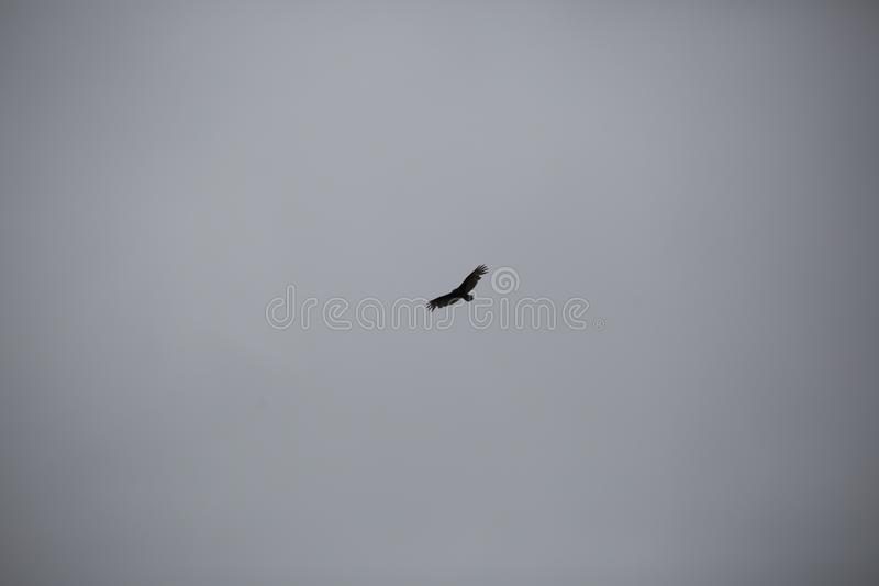 Turkey Vulture Flying High royalty free stock images