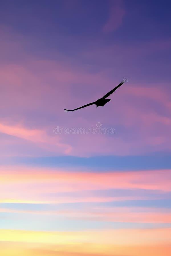 Turkey vulture flying stock image