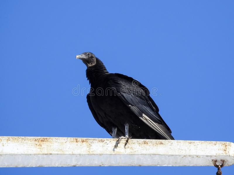 Turkey Vulture Perched High in the Sky stock photos