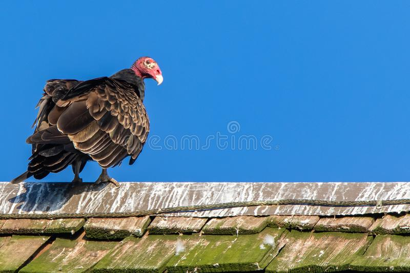 Turkey Vulture Perched on a Roof royalty free stock photos