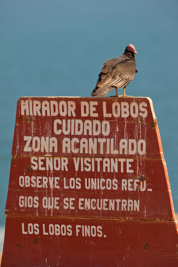 Turkey Vulture on poster. A Turkey Vulture (Cathartes aura) rests on a poster of the Paracas nature reserve, Pisco-Peru royalty free stock images