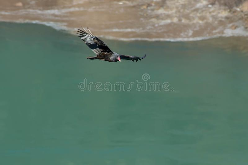 Download Turkey Vulture stock photo. Image of conservation, america - 109574776