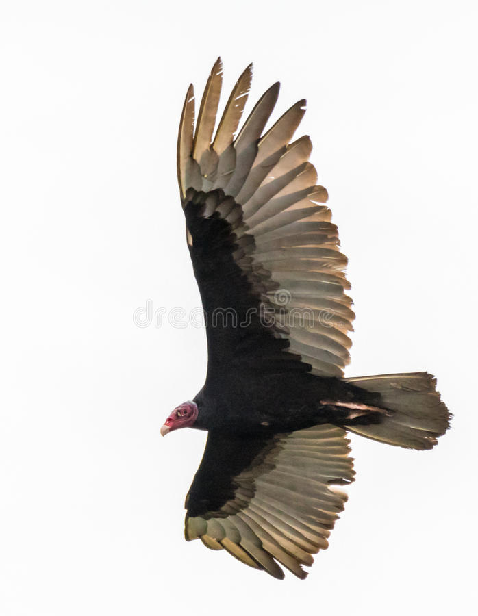 Turkey Vulture Soaring stock photos