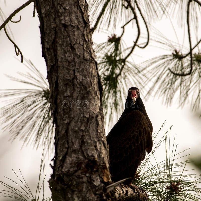Turkey Vulture Waiting on a Tree, Big Cypress National Preserve, Florida royalty free stock photography