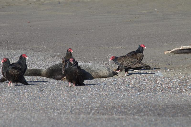 Turkey Vultures and dead seal ashore - Goat Rock Beach Northern California stock images