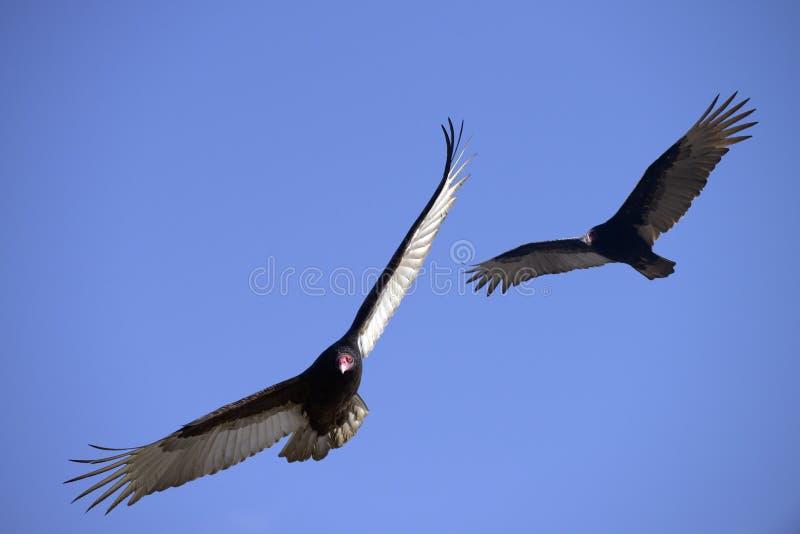 Turkey Vultures in Flight stock photos