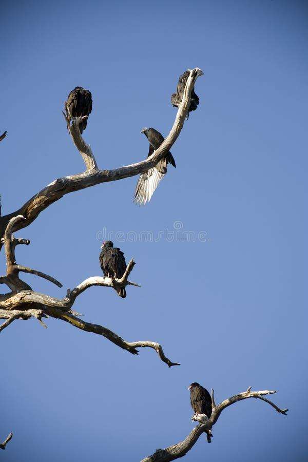 Download Turkey Vultures Roosting In A Snag Stock Image - Image: 10679713