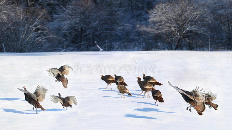 Turkey during winter. Wild turkey in nature during winter royalty free stock photography