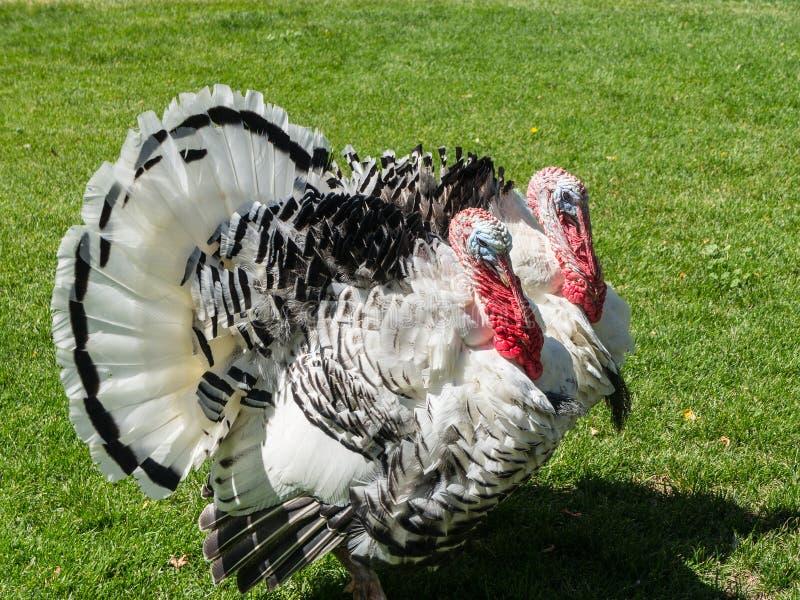 Download Turkeys stock image. Image of gobble, plumage, crest - 33511215