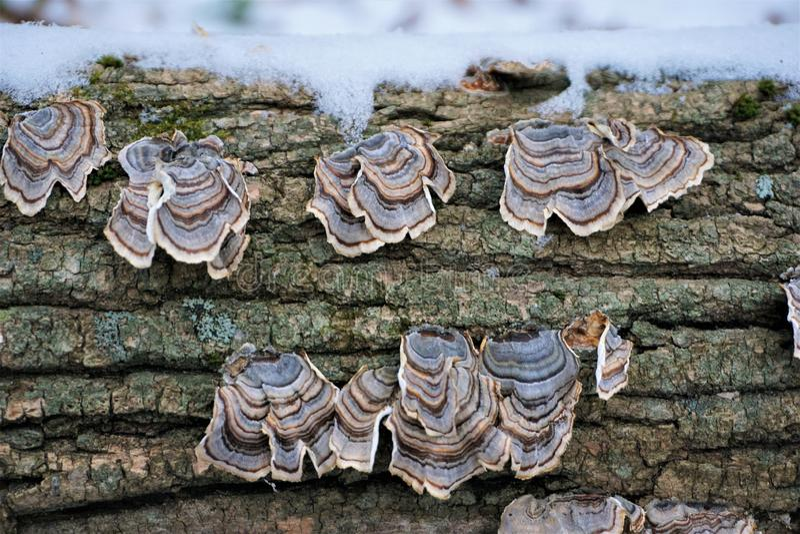 Turkeytail shelf fungus on dead wood with snow stock photo