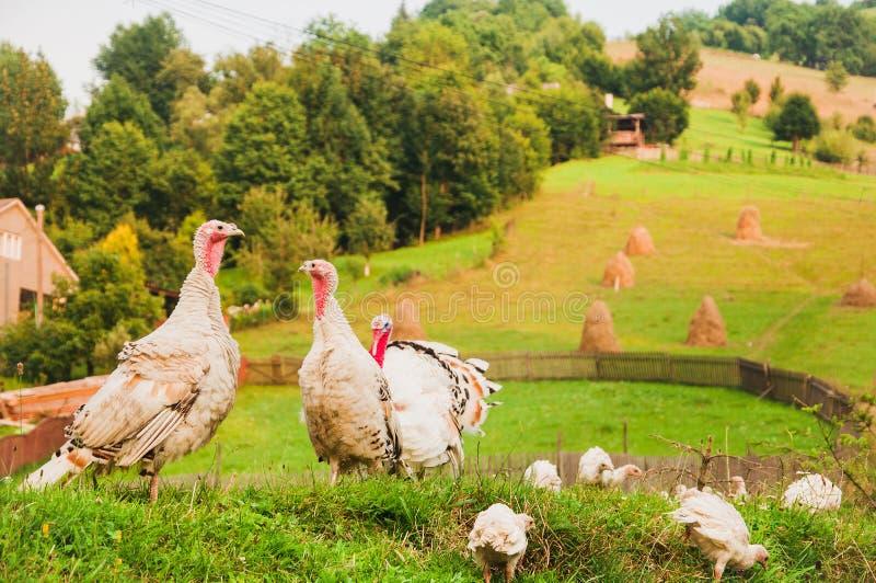 Turkiet familj på grönt gräs; royaltyfri foto