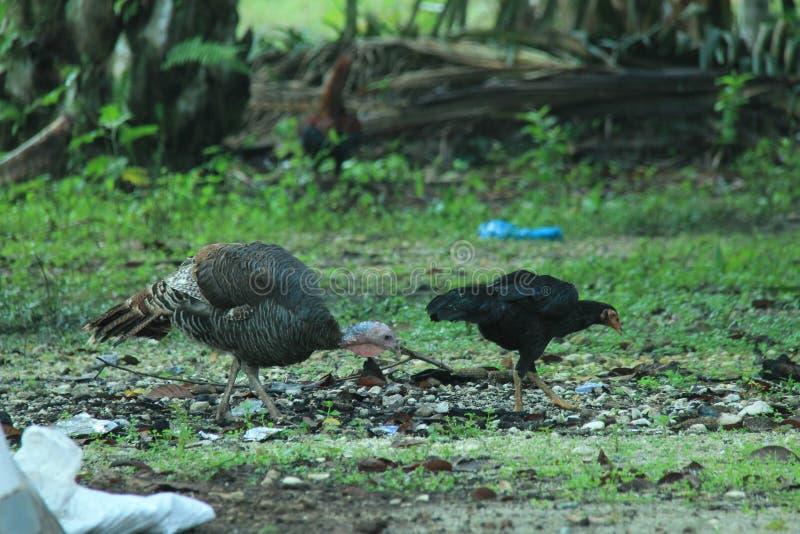 Turkiet och höna i gården, version 3 fotografering för bildbyråer