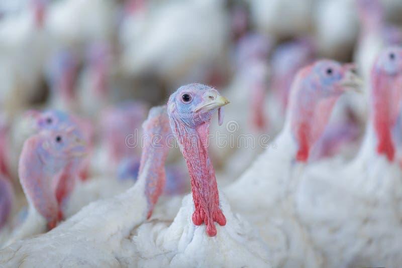 Turkiet på en lantgård som föder upp kalkon Turkiet på whiten arkivfoton
