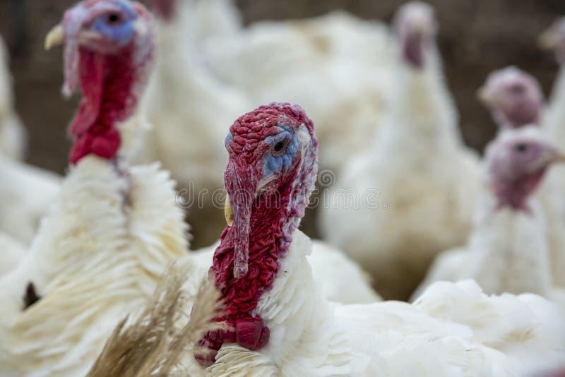 Turkije-kuiken stock foto