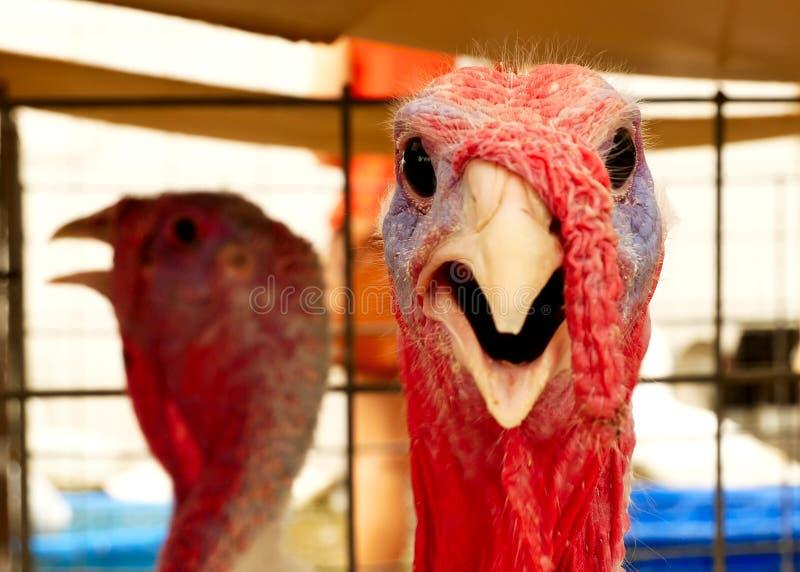 Turkije, Meleagris-gallopavo, bij de de vogel hoofdclose-up van de landbouwbedrijflandbouw stock foto's
