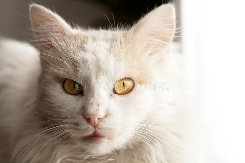 Download Turkish angora cat stock photo. Image of nose, eyes, brown - 17723104