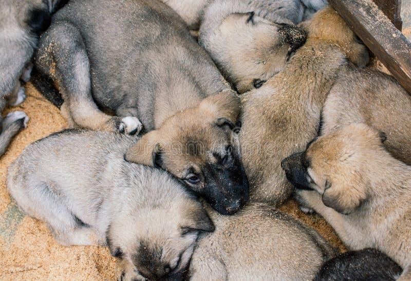 Turkish breed shepherd dog puppies Kangal as guarding dog royalty free stock images
