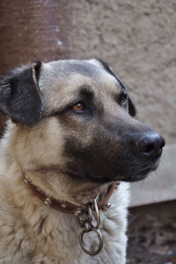 Turkish Shepherd Dog stock photo