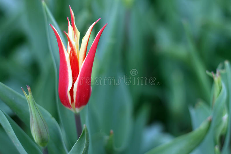 Download Turkish tulip stock image. Image of ottoman, green, type - 24652805