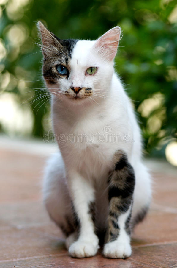 Download Turkish Van Cat Royalty Free Stock Images - Image: 15791309