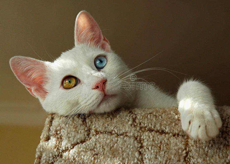 Turkish Van cat. The Van cat is a distinctive landrace of domestic cat, found in the Lake Van region of eastern Turkey. It is relatively large, has a chalky royalty free stock photo