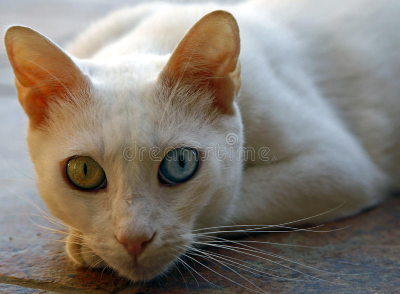 Turkish Van cat. The Van cat is a distinctive landrace of domestic cat, found in the Lake Van region of eastern Turkey. It is relatively large, has a chalky royalty free stock photography
