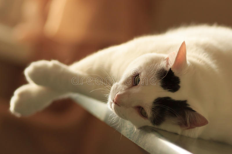 Turkish Van Cat lying on the table. Soft and relaxed glance of black and white Turkish Van Cat lying on the table. Sunset light stock photo