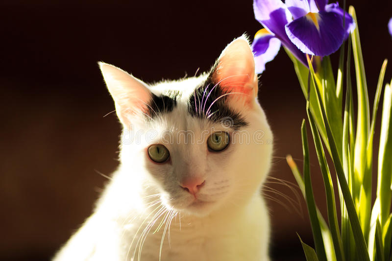 Turkish Van Cat stock photos