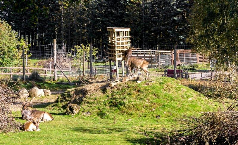 Turkmenian makhors enclosure in Highland Wildlife Safari Park, Scotland. Turkmenian makhor is eating hay from a feeding stand in Highland Wildlife Safari Park stock image