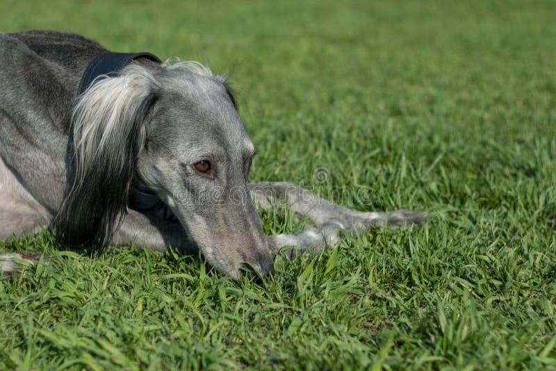 Turkmenischer Jagdhund, der auf der Nahaufnahme des gr?nen Grases liegt Weg im warmen Sommerwetter Platz f?r Text Rest auf dem Gr lizenzfreies stockbild
