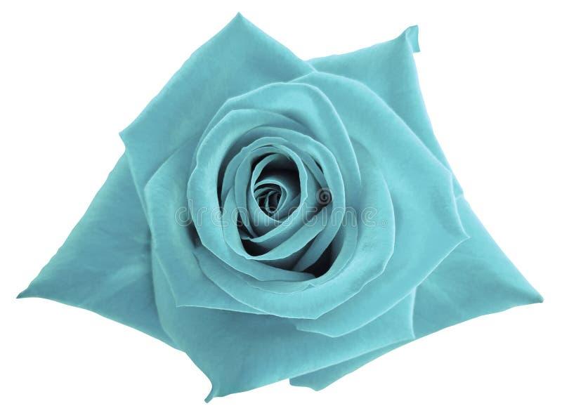 Turkoois nam bloem op wit geïsoleerde achtergrond met het knippen van weg toe Geen schaduwen close-up stock afbeeldingen