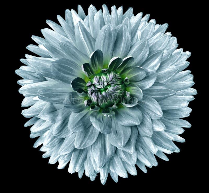 Turkooise bloemdahlia Bloem op zwarte achtergrond wordt geïsoleerd die Voor ontwerp close-up Duidelijkere nadruk stock foto