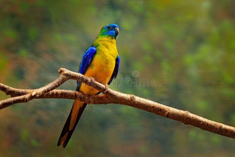 Turkospapegoja, Neophema pulchella, härlig blå fågel från östliga Australien Papegoja i naturlivsmiljön som sitter på behån royaltyfri foto