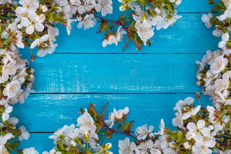 Turkosträbakgrund med blomningfilialer av körsbäret på royaltyfri bild