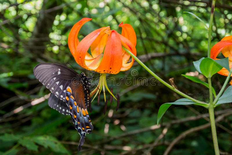 Turks Cap Lily and Butterfly stock photography