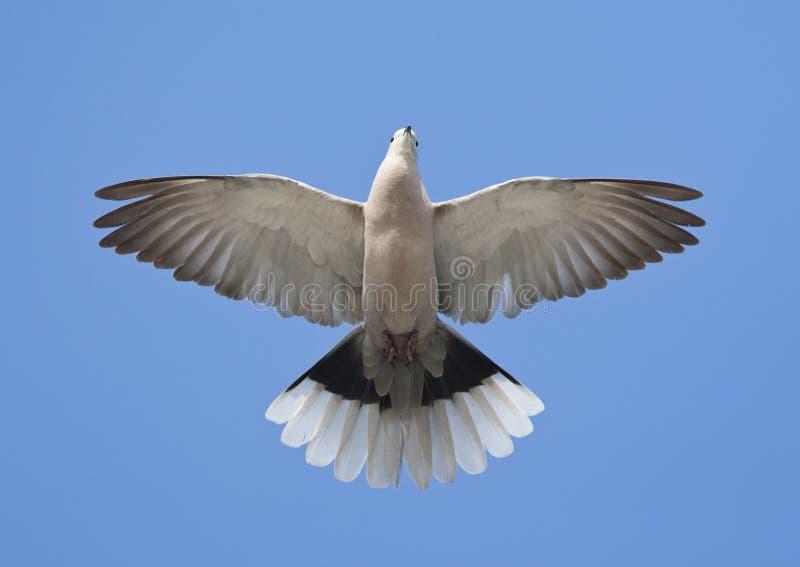 Turkse Tortel, eurasian colocou um colar a pomba, decaocto do Streptopelia foto de stock