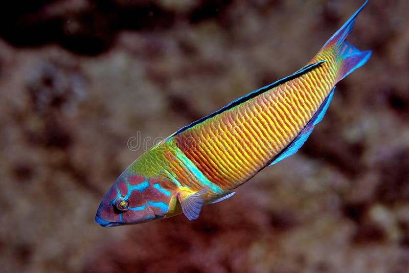 Turkse Vissen Wrasse stock afbeeldingen