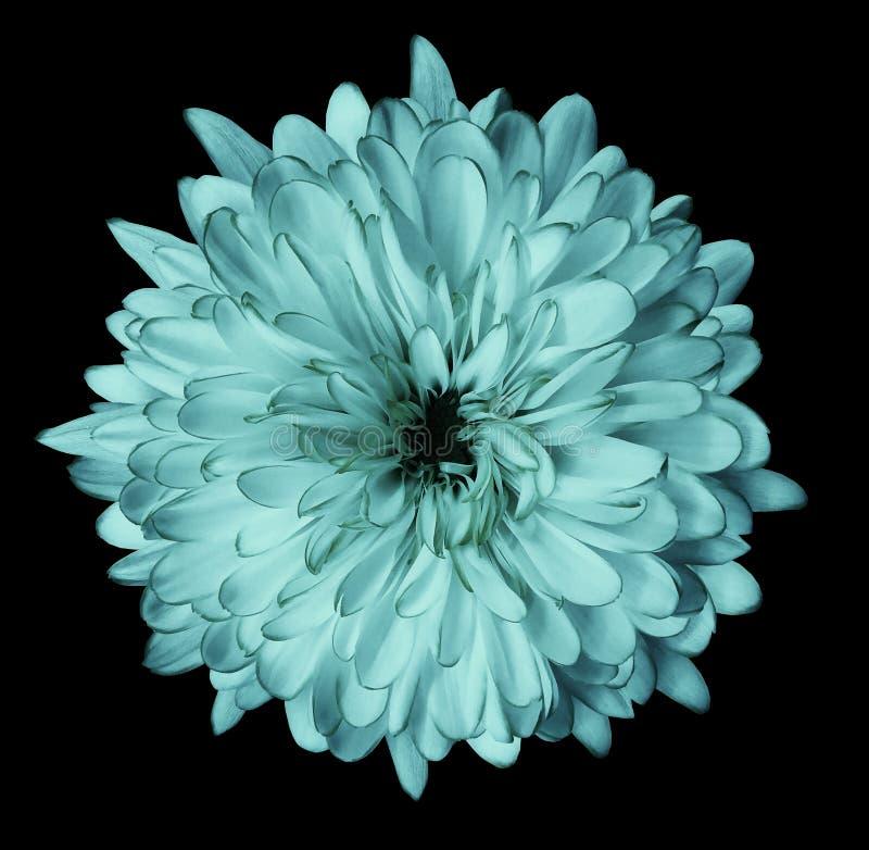 Turkusowa kwiat chryzantema, ogrodowy kwiat, czerni odosobnionego tło z ścinek ścieżką zbliżenie Żadny cienie zielony centre obrazy royalty free