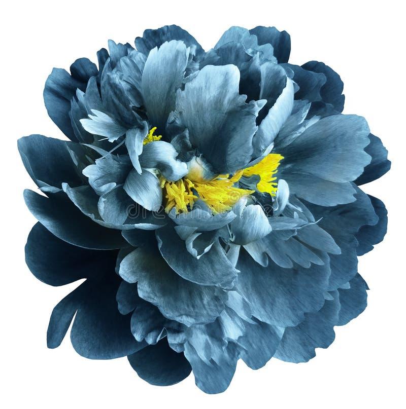 Turkusowy peonia kwiat z żółtymi stamens na odosobnionym białym tle z ścinek ścieżką Zbliżenie żadny cienie Dla projekta zdjęcia royalty free
