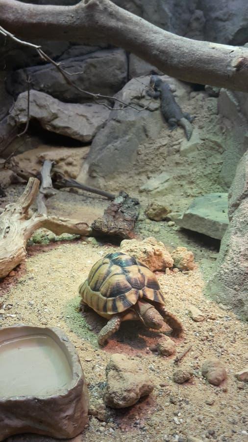 Turltle in einem Zoo stockfoto