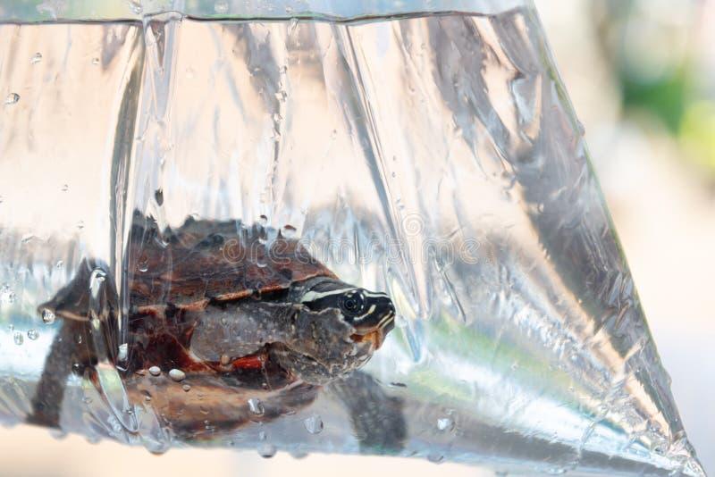 Turltle no lado o saco de plástico antes da liberação dentro ao rio fotografia de stock royalty free