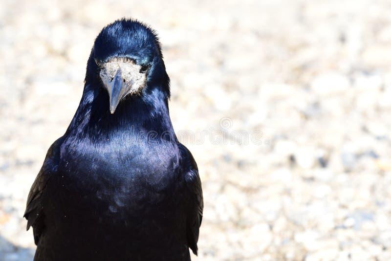 Turm Corvus frugilegus lizenzfreie stockfotografie