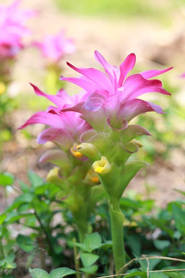Turmeric flower. Turmeric (Curcuma longa) is a rhizomatous herbaceous perennial plant of the ginger family, Zingiberaceae. It is native in southwest India, and stock photography