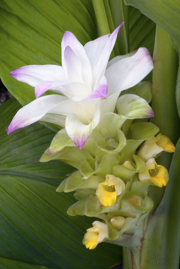 Turmeric flower (Curcuma longa) stock images