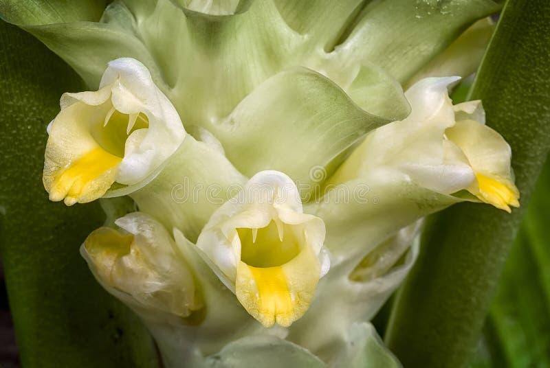 Turmeric flower Curcuma longa royalty free stock image