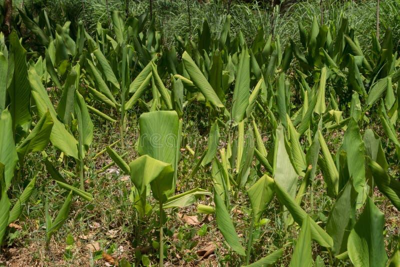 Turmeric plants royalty free stock image