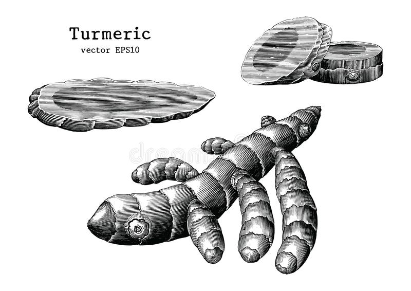 Turmeric root collection hand draw vintage clip art isolated on royalty free illustration